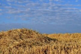 Field of straw - Npulp