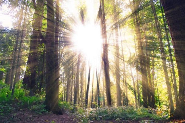 Sun beaming through forest of trees - Nanorods