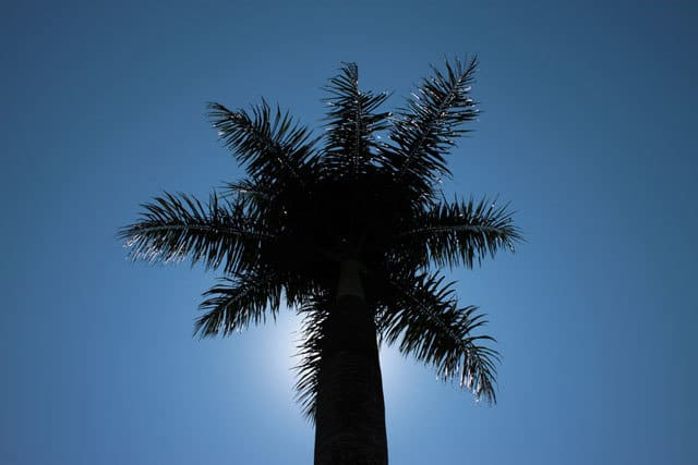 Palm tree - tropical plants