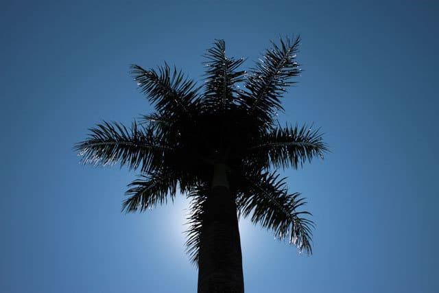 Palm tree - tropical plants
