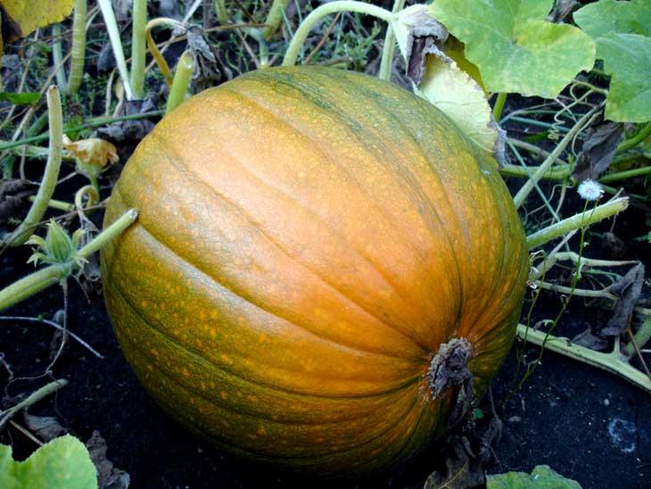 Pumpkin on ground