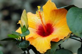 yellow hibiscus - tips for growing tropical plants