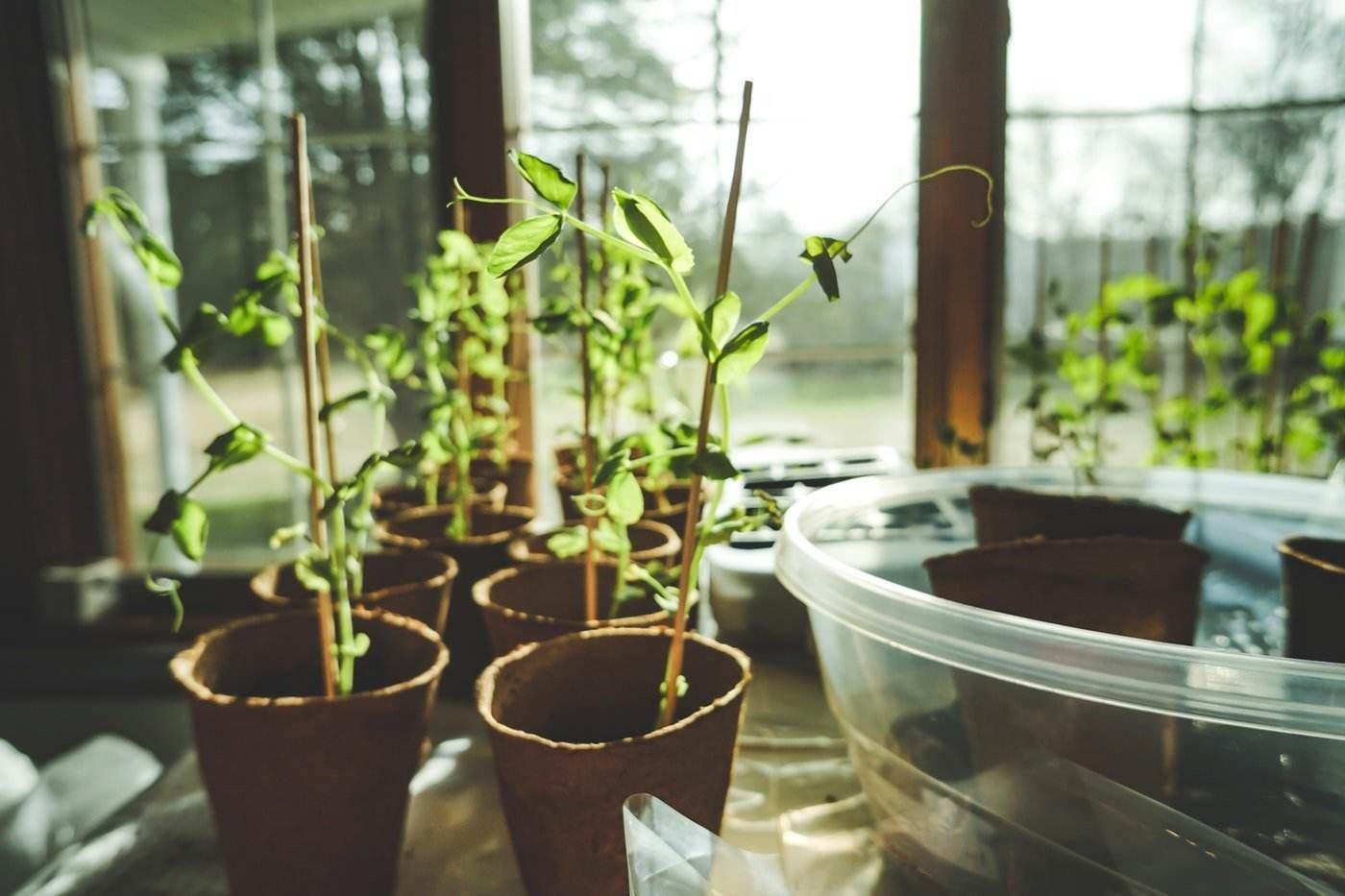 seedlings in pots by window - greenhouse sanitation