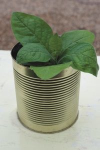Flourishing plant in tin can - Upcycled tin can display