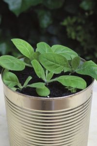 Strong, healthy plant growing in tin can - Upcycled tin can display