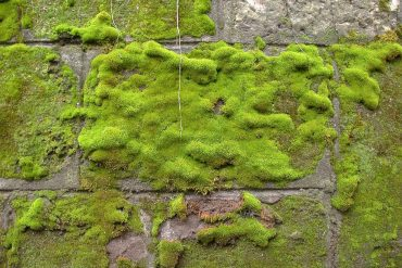 Moss growing on stone wall - Can a moss culture really clean urban air