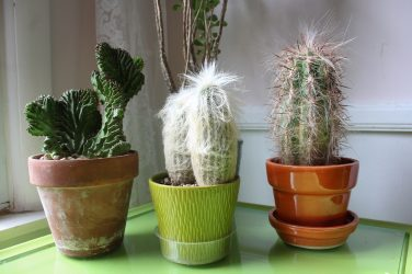 Three potted cactus plants on a table - Want to grow healthy plants?