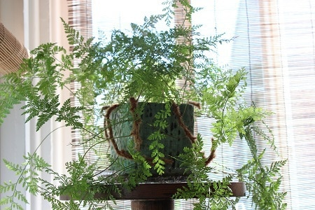 Plant in front of window with shade - Want to grow healthy plants?