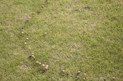 """Fairy"" ring of fungus - Organic lawn care troubleshooting"