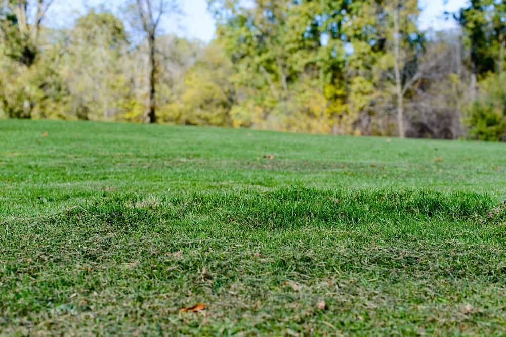 Lawn that's been damaged by moles - Organic lawn care troubleshooting