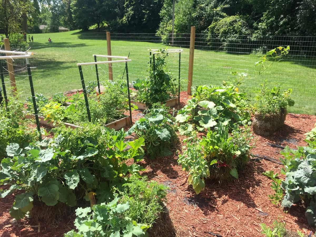 Vegetable crops in straw bale schoolyard garden - Schoolyard garden