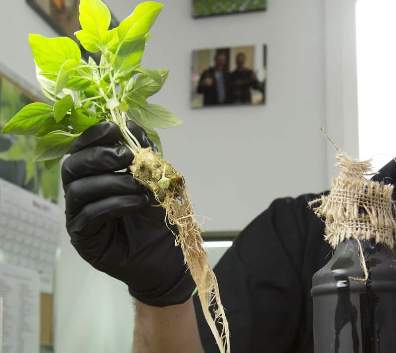 Lifting seedling plug out of bottle - How to build a bottle hydroponic garden