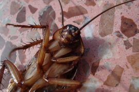 Cockroach lying on a tile floor. Image from Pixabay.