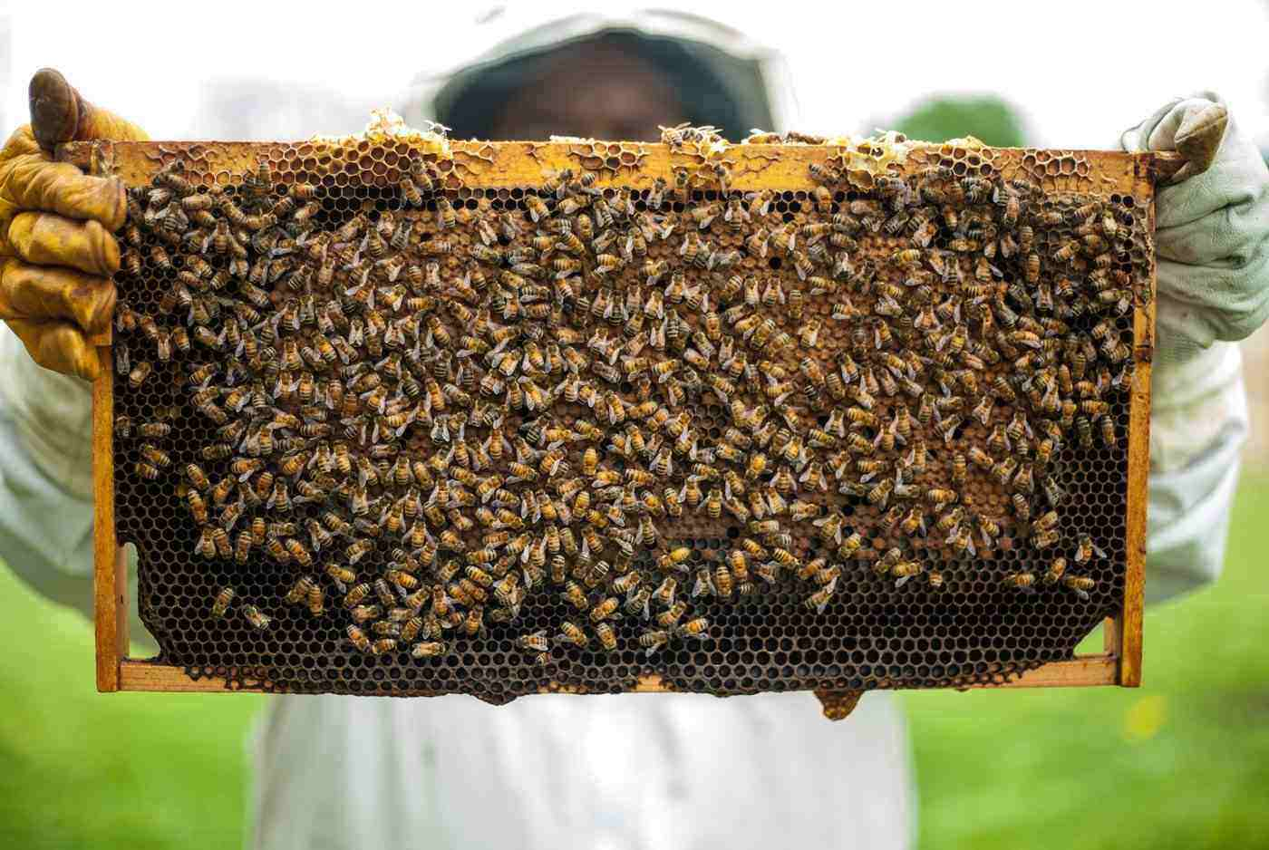 beekeeper and bees - the pros and cons of backyard beekeeping