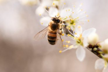 bee on white blossoms - pros and cons of backyard beekeeping
